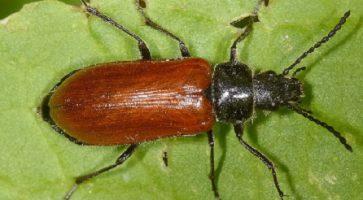 Crvena alekulida (Omophlus Lepturoides)