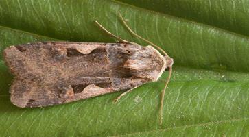 C. Sovica (Amates C. Nigrum)