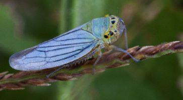 Mala zelena cikada (Cicadella viridis)