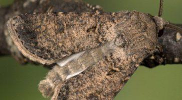 Ozima sovica (Agrotis Segetum)