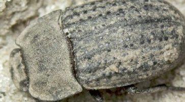 Peščar (Opatrum Sablosum)