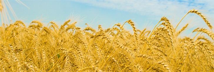 Pšenica (Triticum sp.)