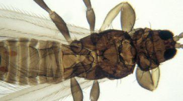Pšenični trips (Haplothrips tritici)
