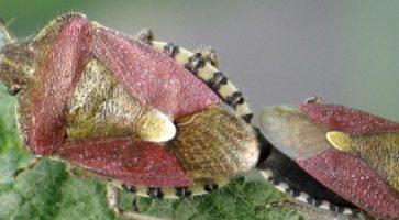 Smrdljivi martin (Dolycoris Baccarum)