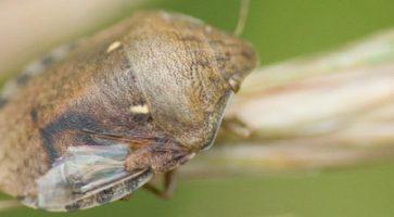 Širokotrba žitna stenica (Eurygaster maura)