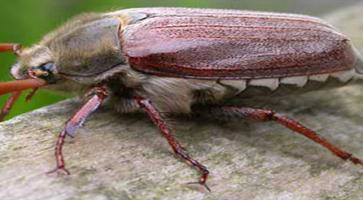 Veliki majski gundelj (Melolonta Melolonta)