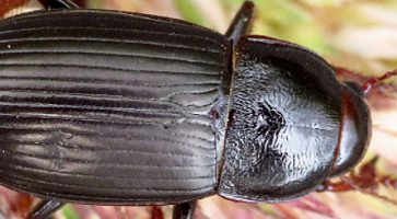 Žitni bauljar (Zabrus Tenebrioides)