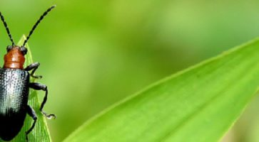 Žitna pijavica – Lema (Lema Melanopus)