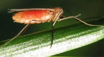 Žuta pšenična cecidomida – Ražana mušica (Contariana Tritici)