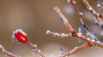 Kako zaštititi ruže preko zime