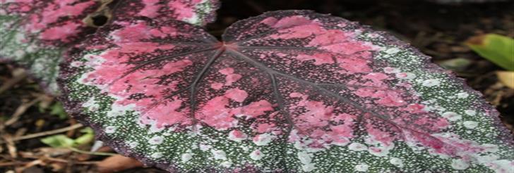 Kraljevska begonija (Begonia Rex)