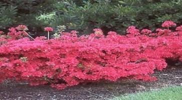 Azaleja (Azalea –rhododendron – sp. fam Ericaceae)