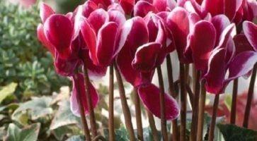 Ciklama (Cyclamen sp. fam. Primulaceae)
