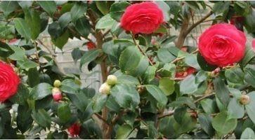 Kamelija (Cammelia sp. Fam. Theaceae)