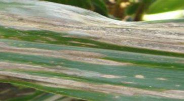 Lisna pegavost sirka (Exserohilum/Helminthosporium turcicum)