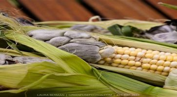 Mehurasta gar kukuruza (Ustilago Maydis)