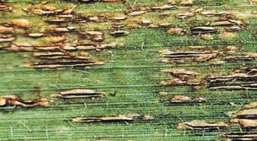Rđa kukuruza (Puccinia Sorghi)