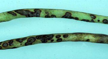 Antraknoza graška (Colletotrichum lindemuthianum)