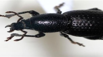 Crna repina pipa (Psalidium maxillosum)