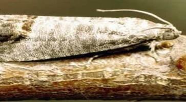 Graškovi savijači  (Laspeyrseria spp.)