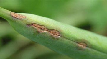 Plamenjača graška (Peronospora viciae)