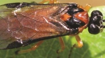 Repičina lisna osa (Athalia Rosae)