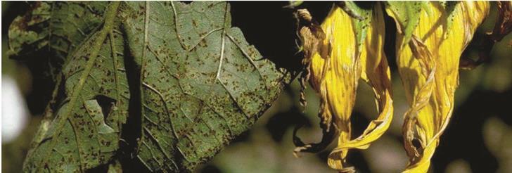 Rđa suncokreta (Puccinia Helianthi)