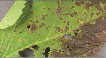 Siva lisna pegavost suncokreta (Septoria Helianthi)