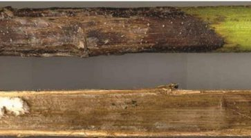 Siva mrka pegavost stabla (Diaporthe Helianthi)