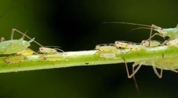 Zelena graškova vaš (Acyrthosiphon Pisum)