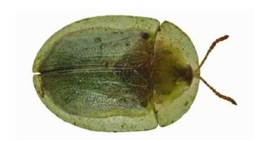 Kasida šećerne repe (Cassida spp.)