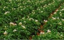 Krompir (Solanum tuberosum)