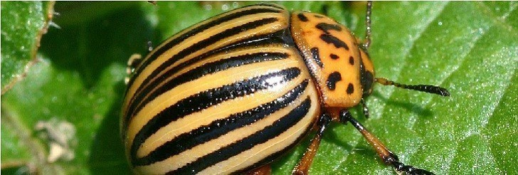 Krompirova zlatica (Leptinotarsa decemlineata)