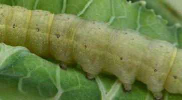 Kupusna sovica (Mamestra brassicae)
