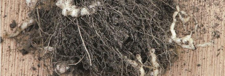 Kila uljane repice (Plasmodiophora Brassicae)