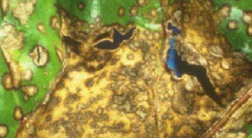 Lisna pegavost šećerne repe (Cercospora beticola)