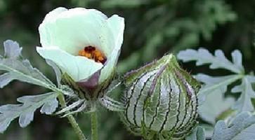 Lubeničarka (Hibiscus trionum)