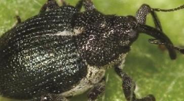 Mala repičina pipa (Ceutorhyncus quadridens)