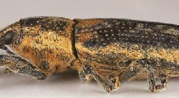Mali repin surlaš (Lixus scrobicollis)