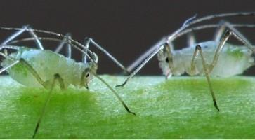 Mlečikina vaš (Macrosiphum euphorbiae)