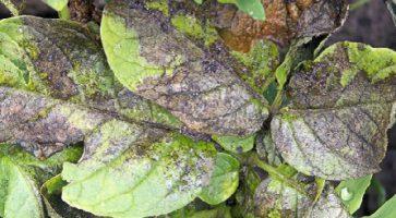 Plamenjača krompira i paradajza (Phytophtora infestans)