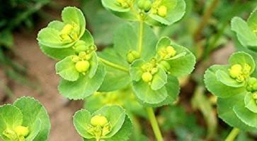 Rana mlečika (Euphorbia helioscopia)