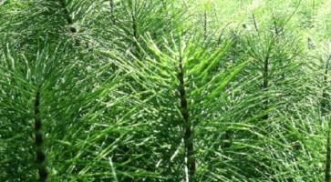 Rastavić (Equisetum arvense)