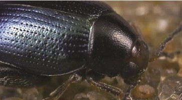 Repičin crvenoglavi buvač (Psylliodes chrysosocephala)