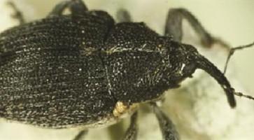 Repičina pipa (Ceutorhynchus assimilis)