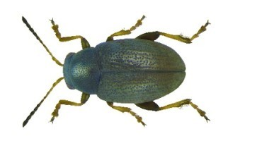 Repin buvač (Chaetocnema tibialis)