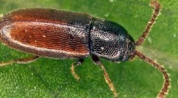 Repina mrvica (Atomaria linearis)