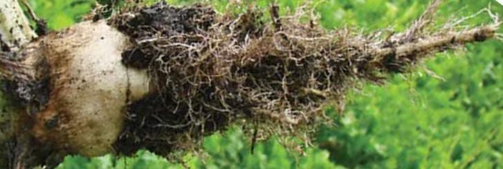 Rizomanija šećerne repe (Virus nekrotičnost šećerne repe)