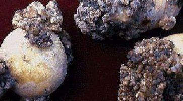 Rak krompira (Synchytrium endobioticum)