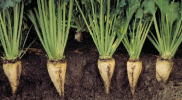 Šećerna repa (Beta vulgaris)